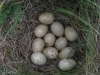 northend-partridge-eggs