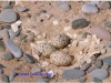 oyster-catcher-nest-1-f5925b52b2cc69a289600376d9ff7871ae316502