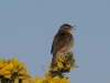 reed-warbler-walney2