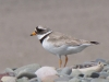 ringed-plover-walney