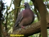 woodpigeon-at-gillies-wood-1-cropped-878306fbf31842abdca6346fc774adb30c7b693a