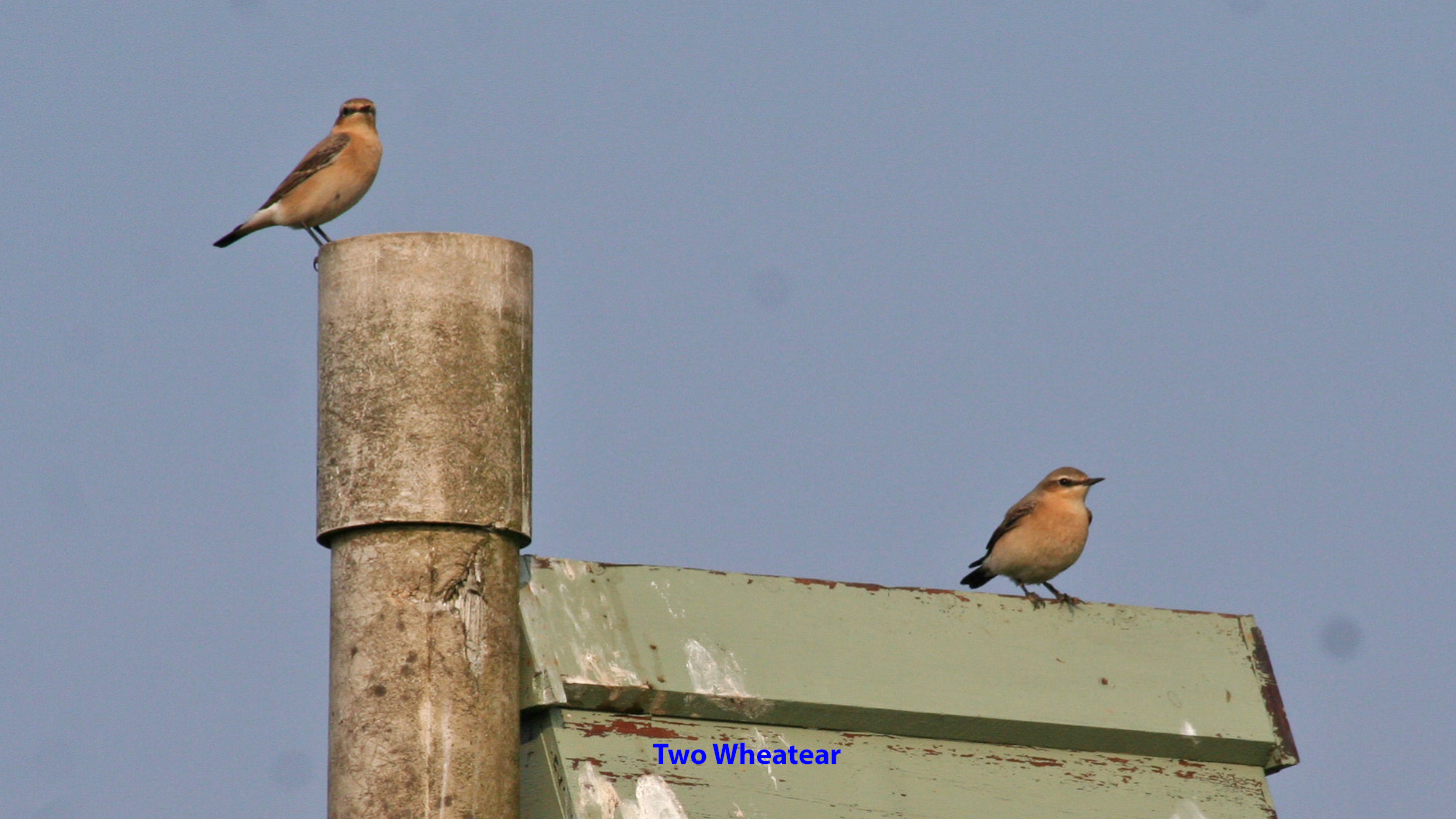 two-wheatear-on-owl-box-named-e5f8661925067db4b084d976038274ba5c37d471