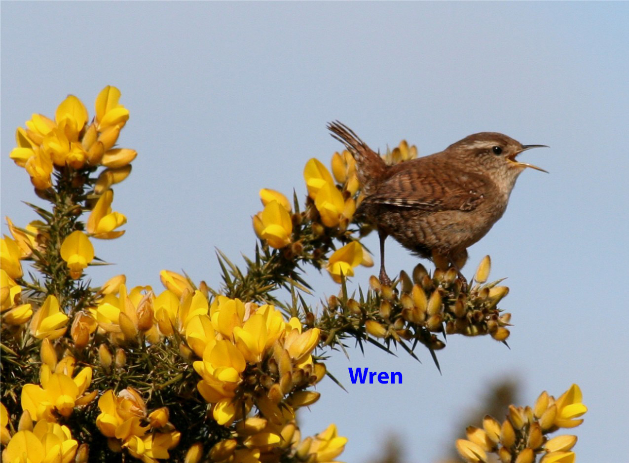 wren-singing-2-cropped-6742532fb13ffdf27e6265b39733c5f7a75a488c