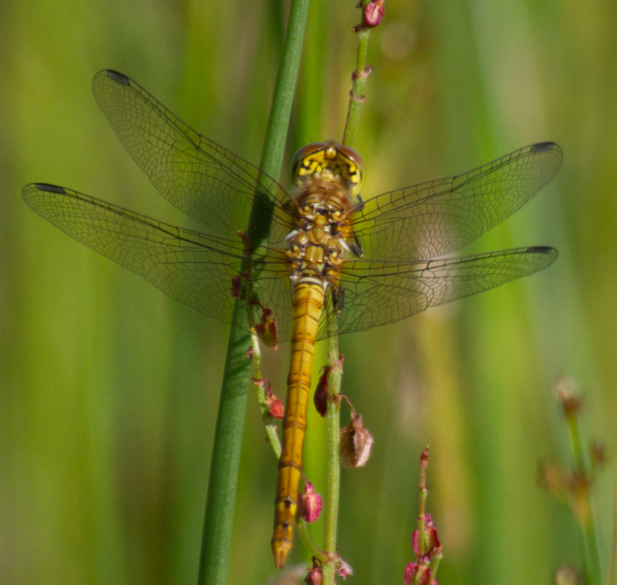 003-immature-common-darter
