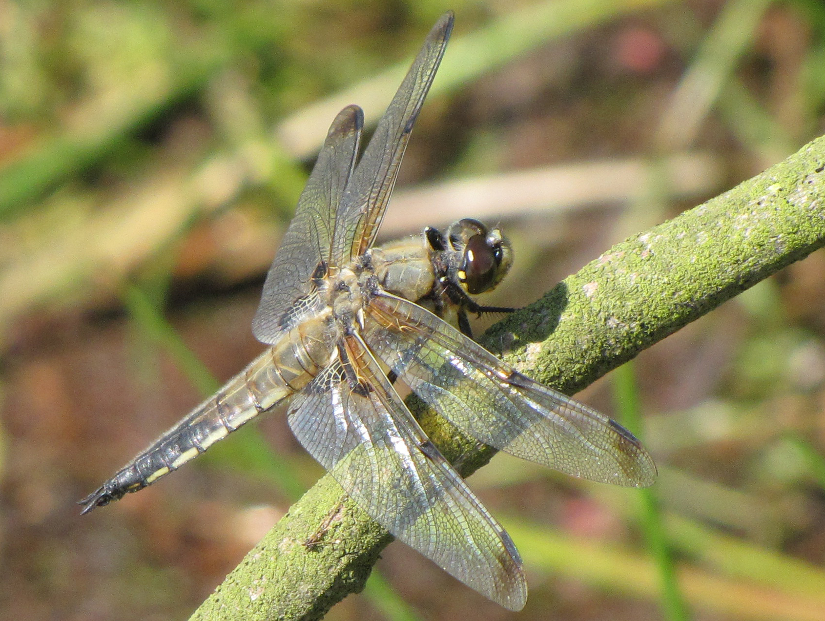 black-tailed-skimmer-walney2