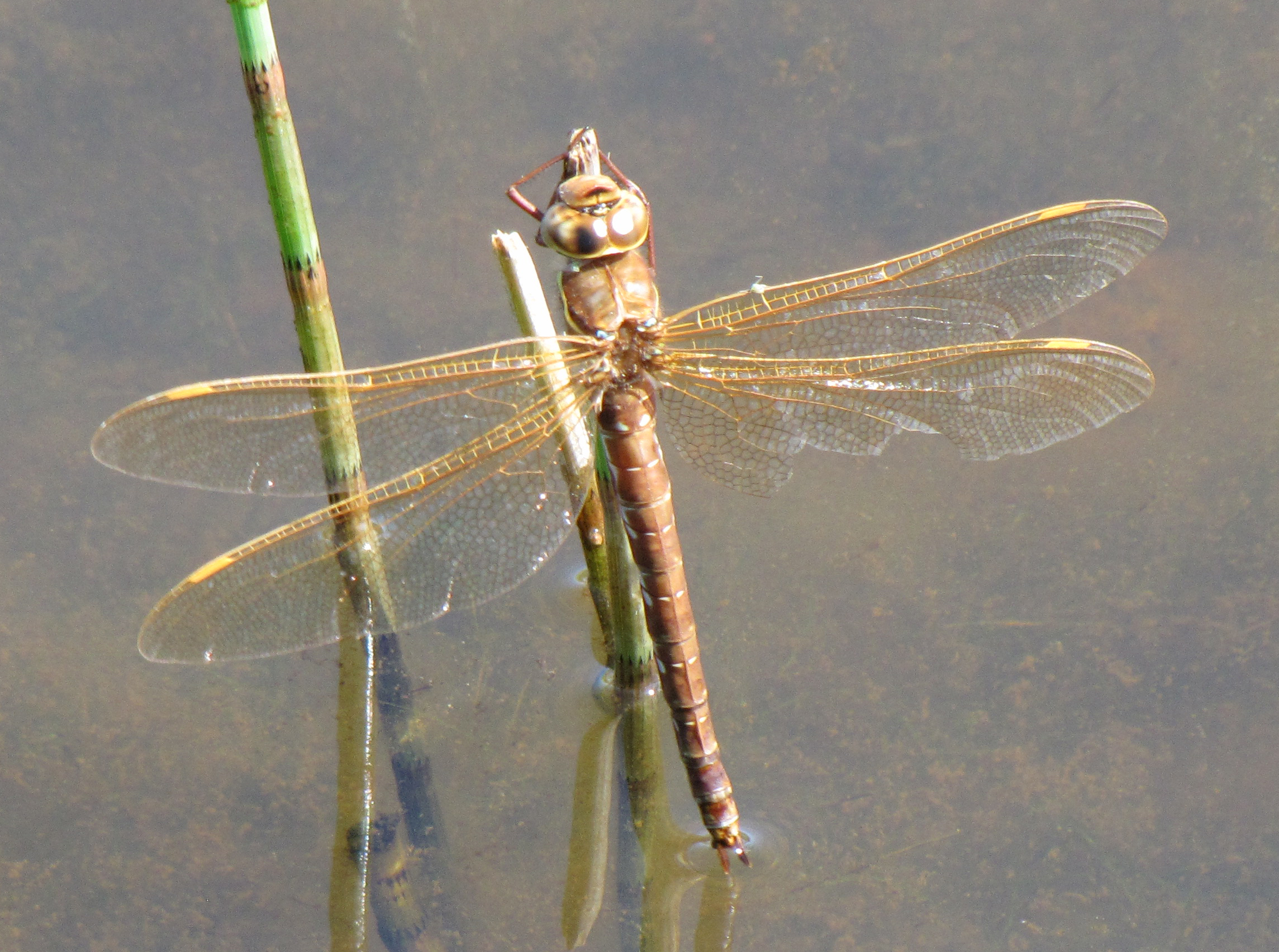brown-hawker-male-walney