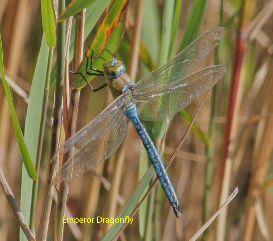 emperor-dragonfly-mill-lane-pond-1-886437248ca81079924ee72f5d5f61153af08b68