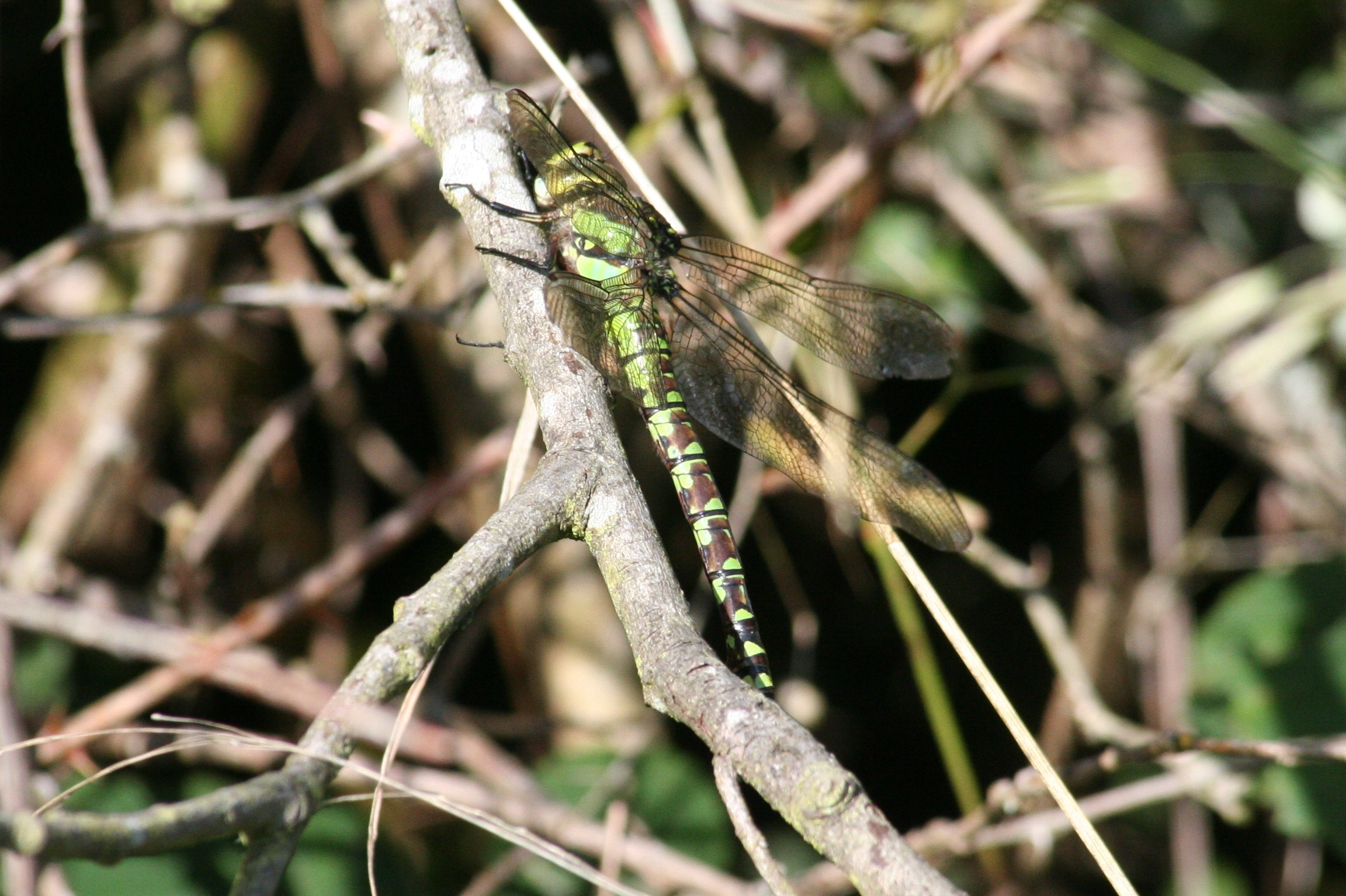 southern-hawker