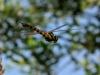 024-common-hawker
