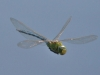 emperor-flying