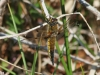 imature-female-four-spot-chaser