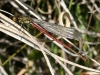 large-red-damselfly-2