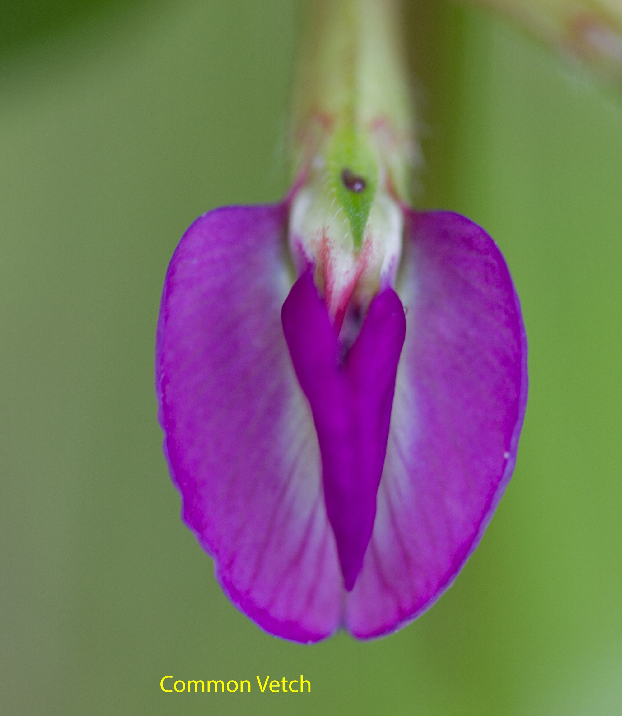 029-common-vetch_edited-1-1-22873a57b6c2eab7b902c62017cc841b6693d499