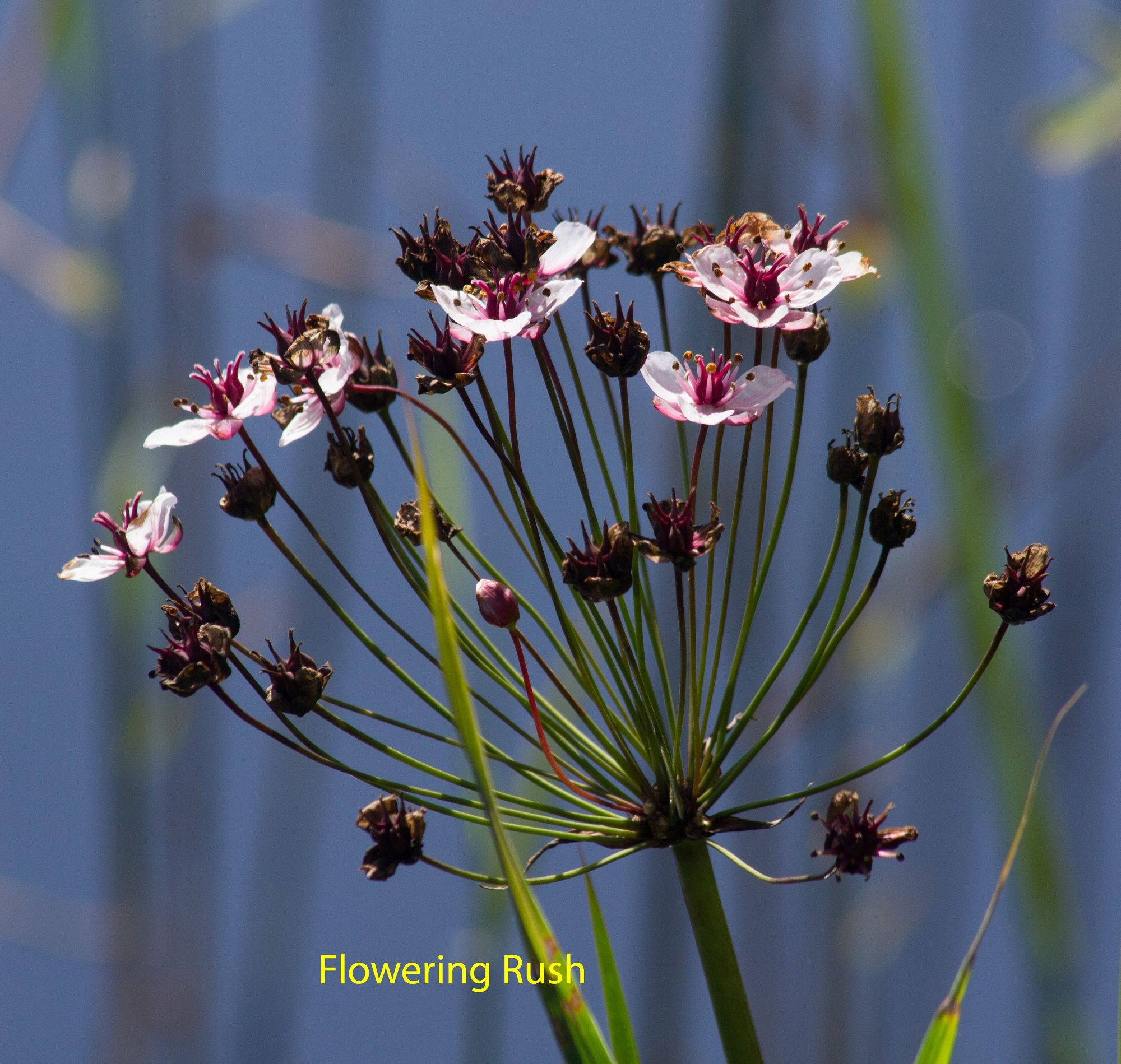 035-flowering-rush-copy1-1-a798087537f7be0b4eea32e12be7d600091967cb