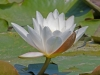 025-water-lilly-edited1-1-d630534ed7e398b315e2b418d8c8eb4033507ad7