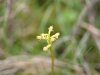 coral-root-orchid-3