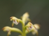 coral-root-orchid