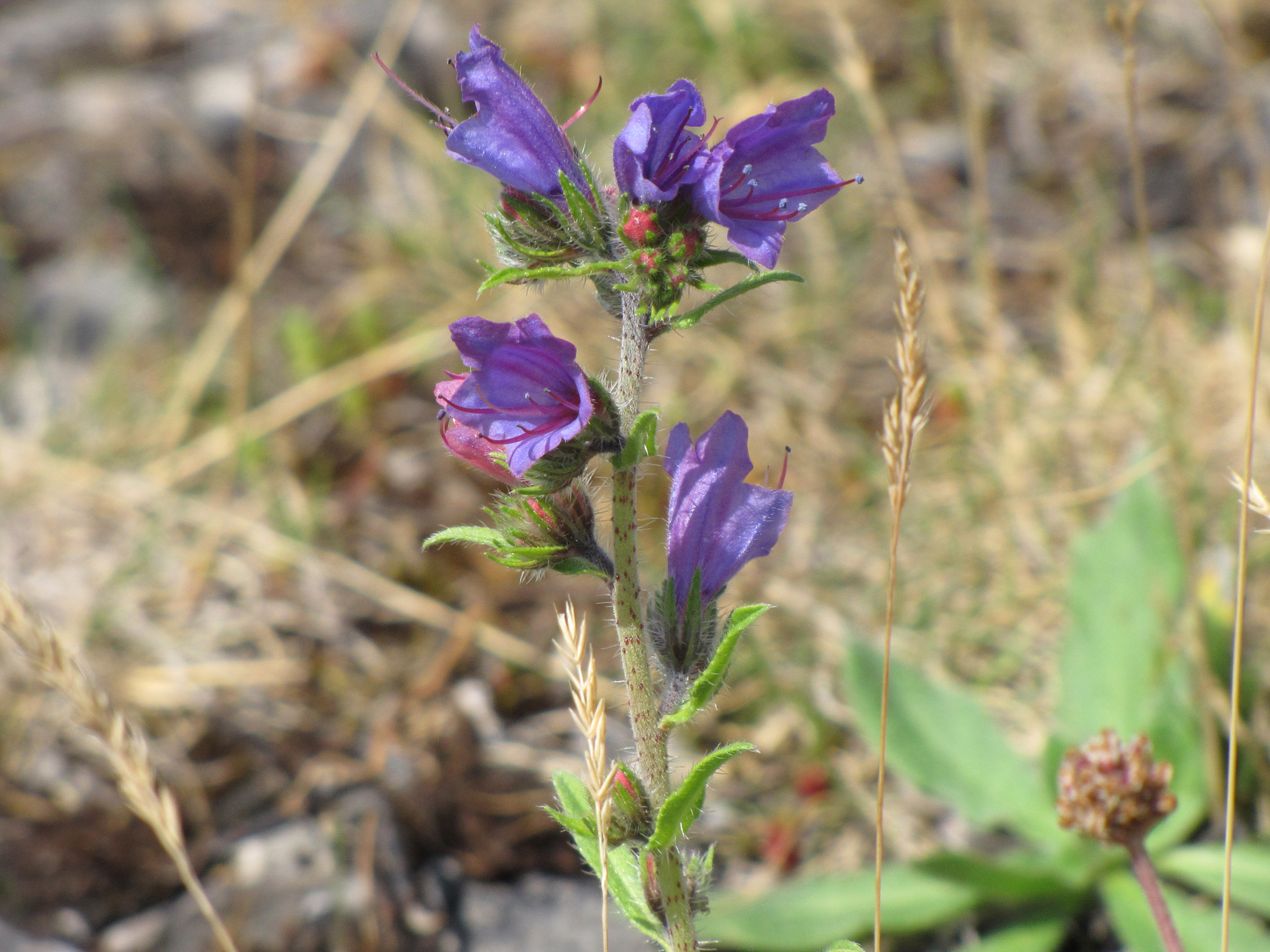 vipers-bugloss-north-walney-copy
