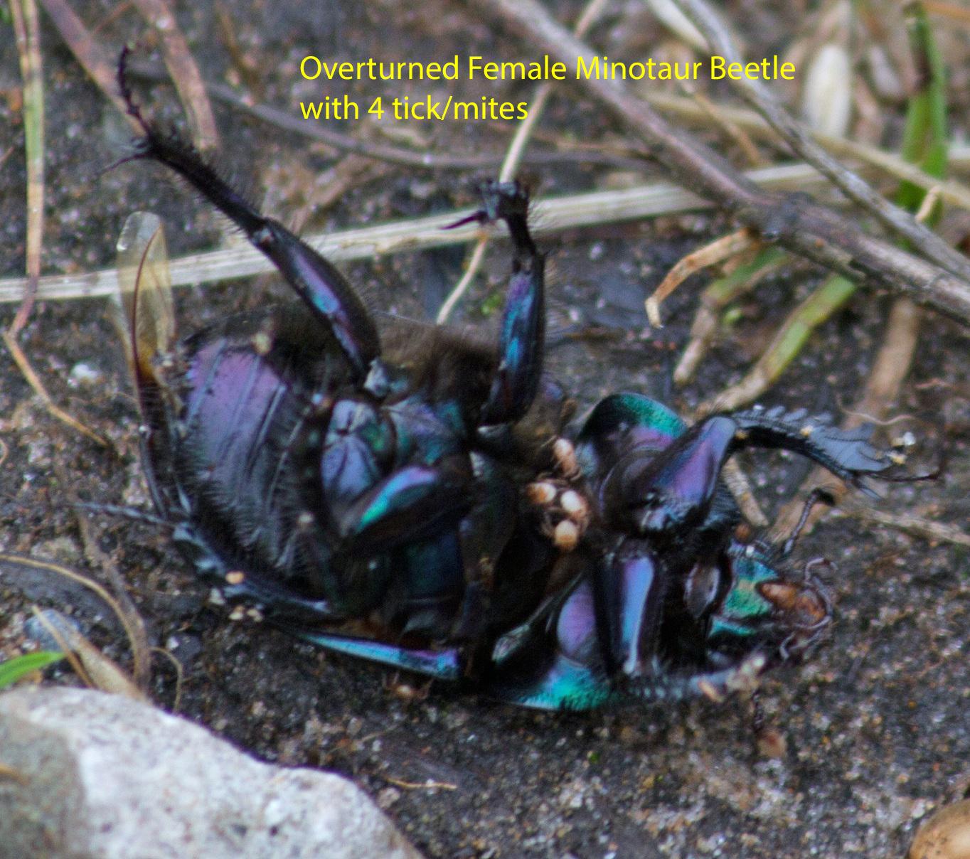 004-overturned-female-minotaur-beetle-1-2-7f2e75f6d042d8b6ef6b141331009481b12580ce
