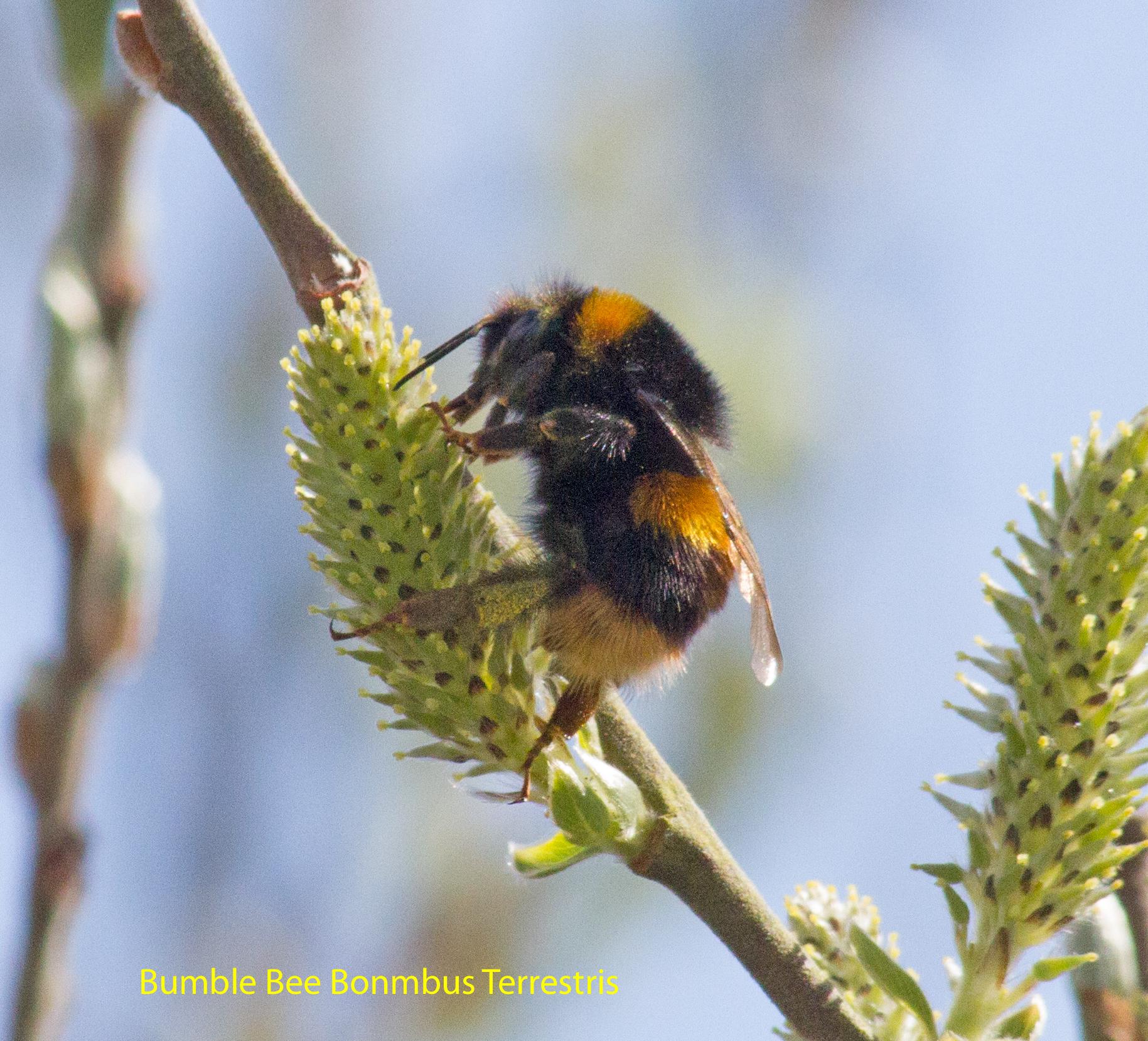 008bumble-bee-bonmbus-terrestris-1-1_edited-1-51babc7d8a8428e0d05294a280ca754eed0ddd34