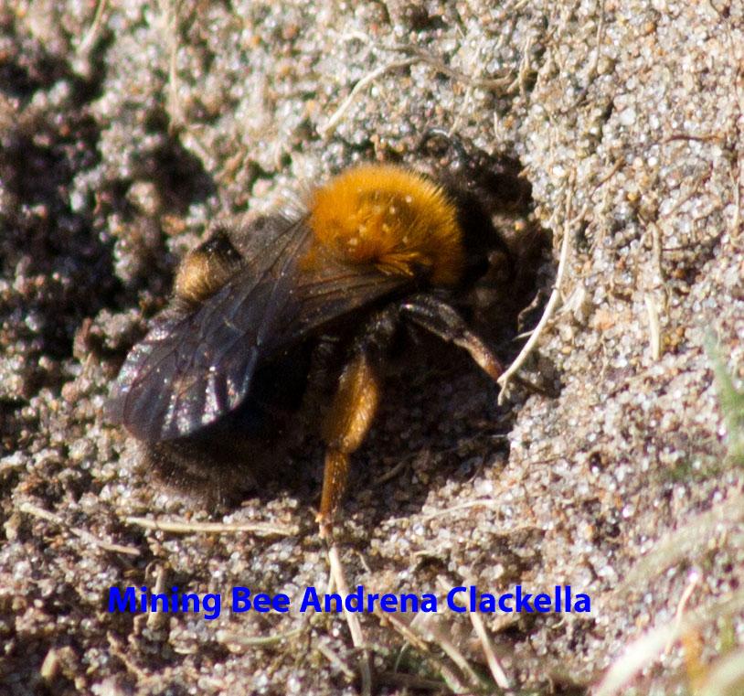 009-mining-bee-andrena-clackella-1-1-aaf567426ecb6a56cd3b86a1e6ac9a6cd36d02b2