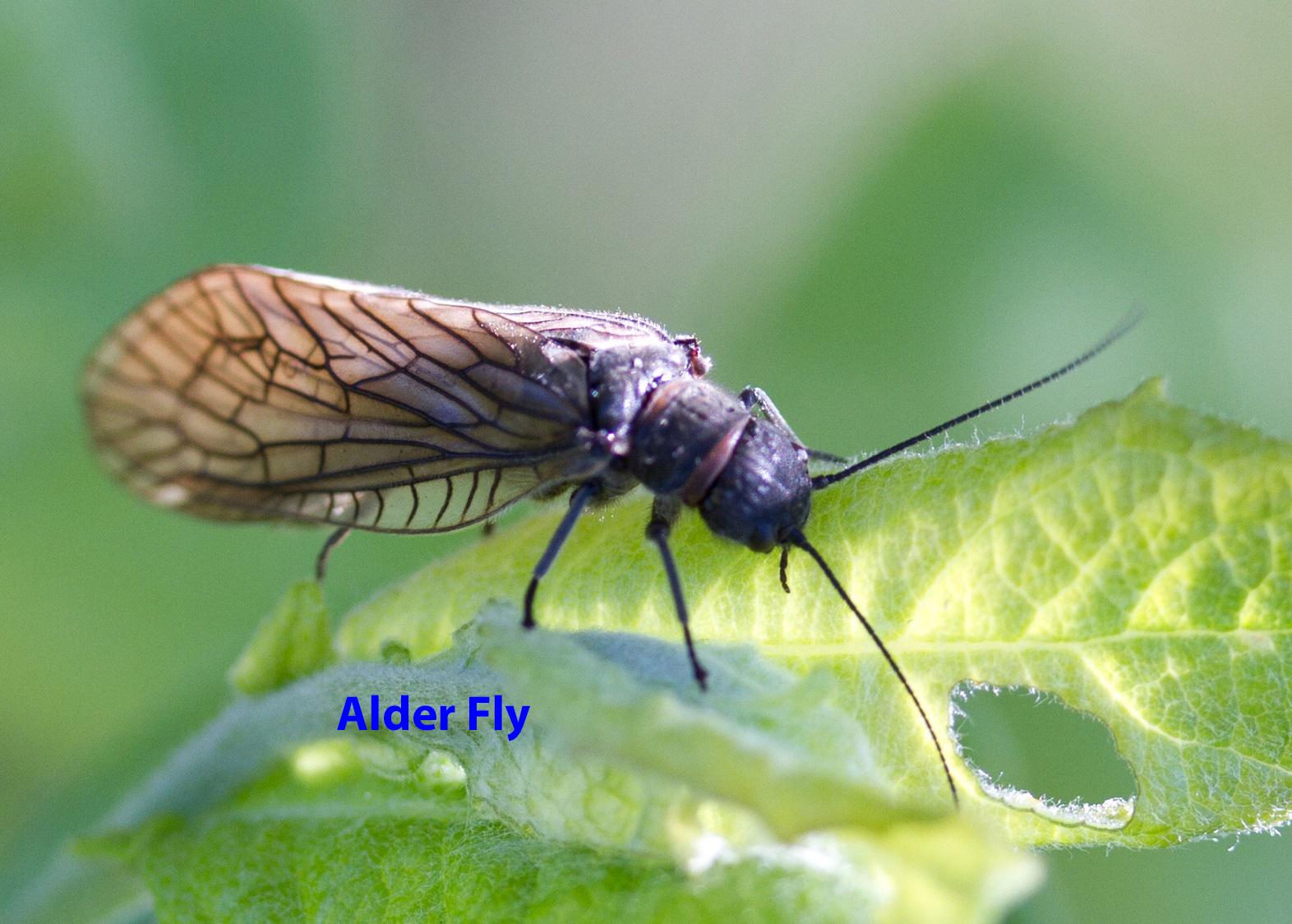 010-alder-fly-1-1-9ad90d445ffe697c81c56664001426f6cb4f89c1