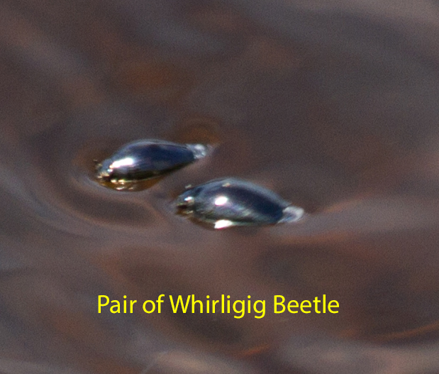 016-pair-of-whirligig-beetles1-1-416813860b6978d2f6a7411979432ff3f1487305
