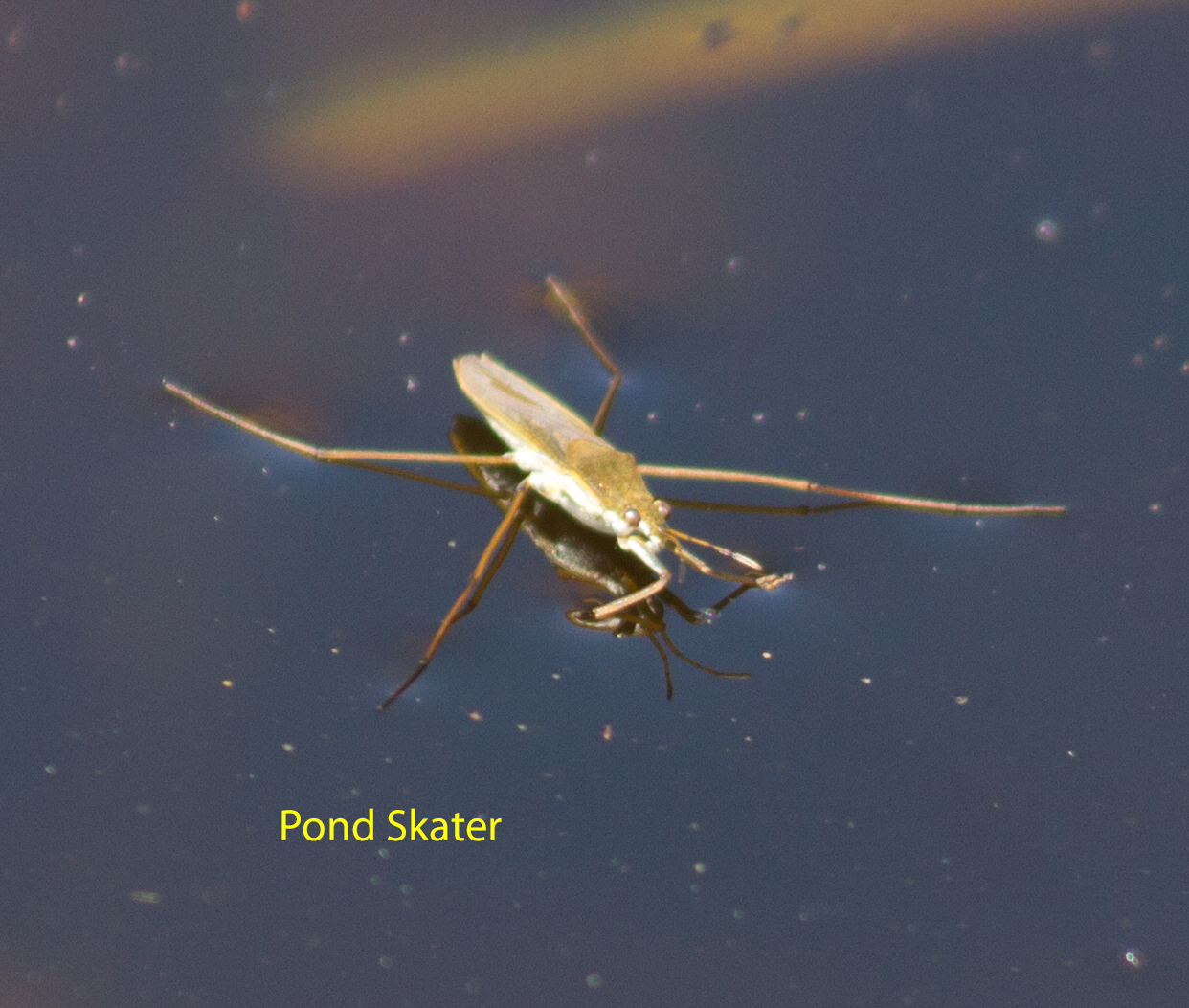 028-pond-skater1-1-5c38b3677f61519ae04d9d3341a9682ab90fbdf1