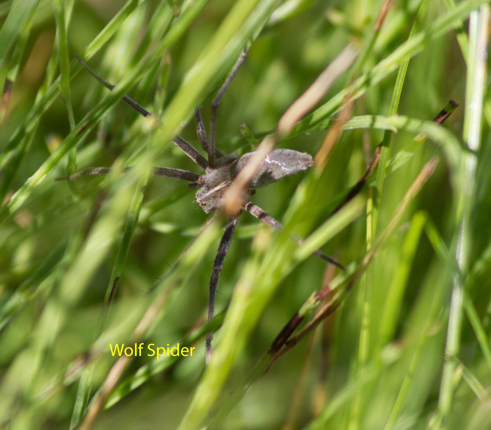 028-wolf-spider-1-1-b8177afbd76321939741af1dca31abaa0448863a