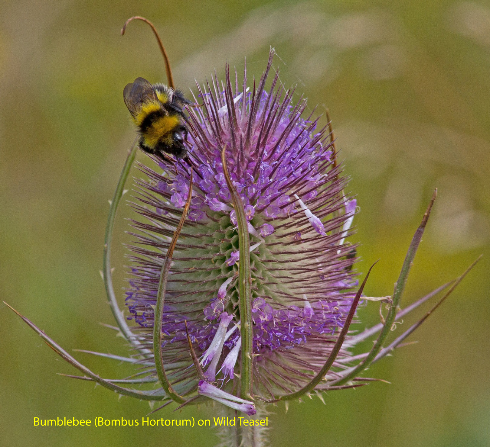062-bumblebee-bombus-hortorum-on-wild-teasel-1-1-5bf092536a79a3120835a893c6bbcc1cf0781a13