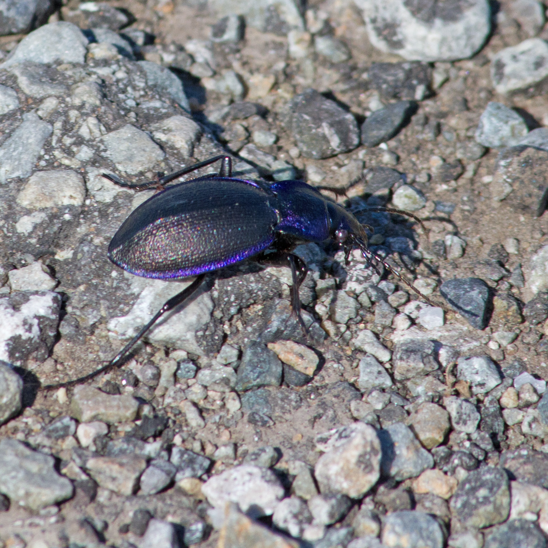 bloody-nosed-beetle