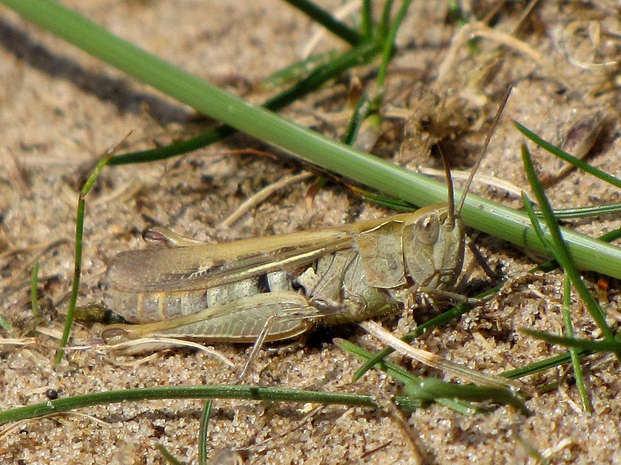 field-grasshopper-chorthippus-brunneus-walney