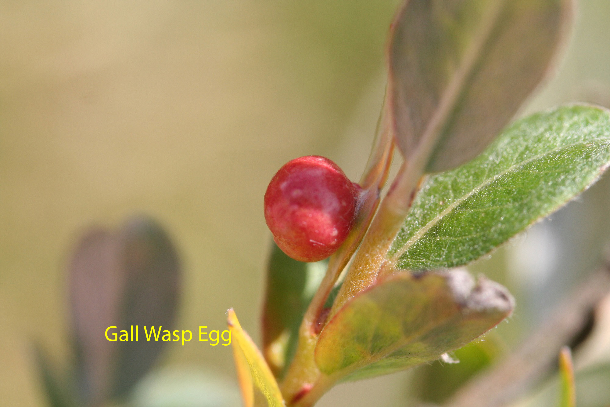 gall-wasp-egg-on-ground-willow-2-copy-2bfde290fb76931efaf84ccc86fe90297bc25d77