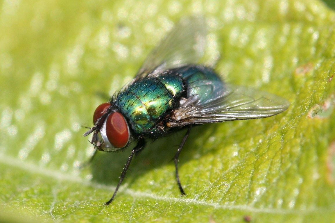 greenbottle-fly-2-fd5d3cd0d327200fad7e962f89717cd0bc1f34d1