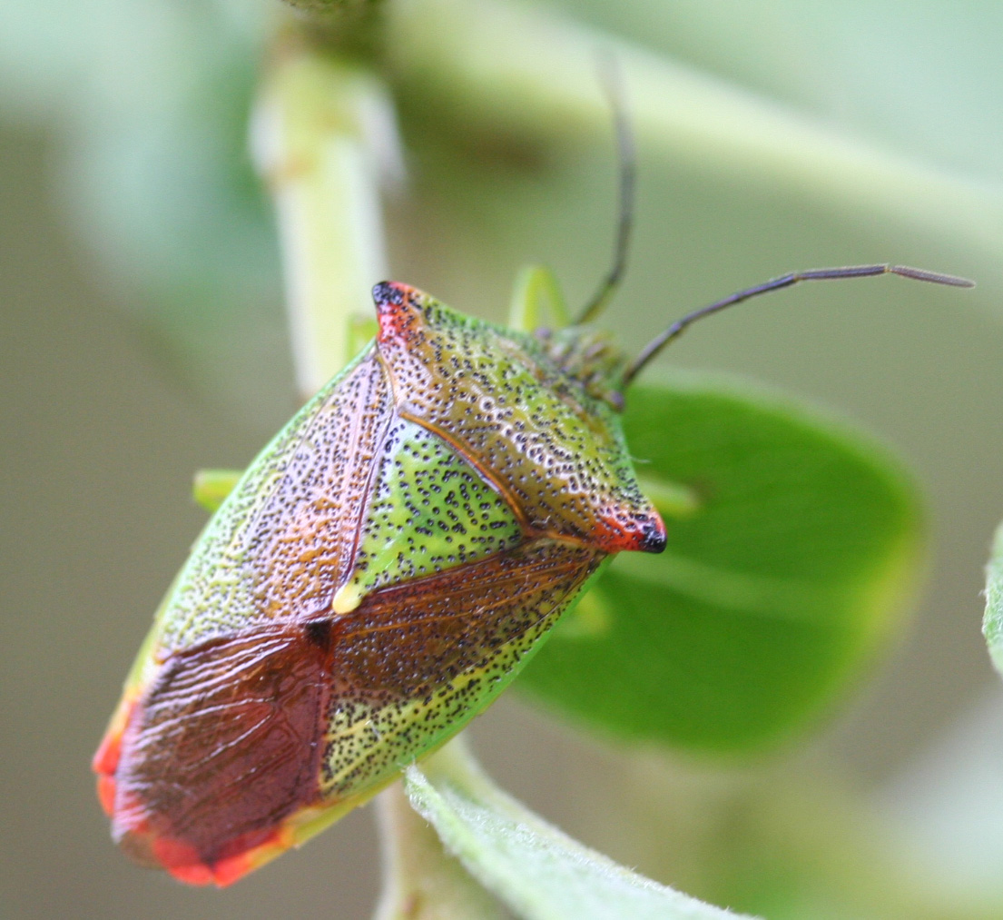 hawthorn-shield-bug-1-d0de6a457e60d80cd1c0d30c8b729c2c3018fd04