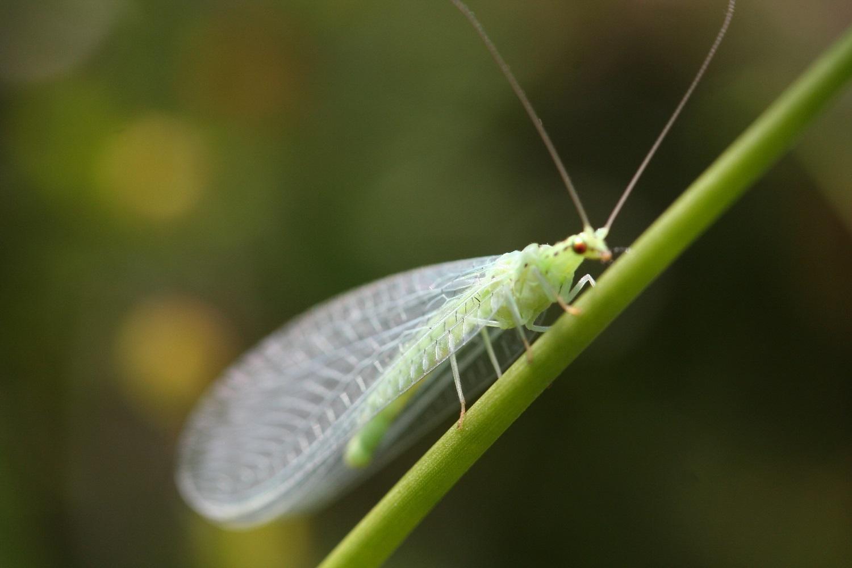 lacewing-green-2-6a3867f97199e6bdacaf182a0032e52cb654f3e0