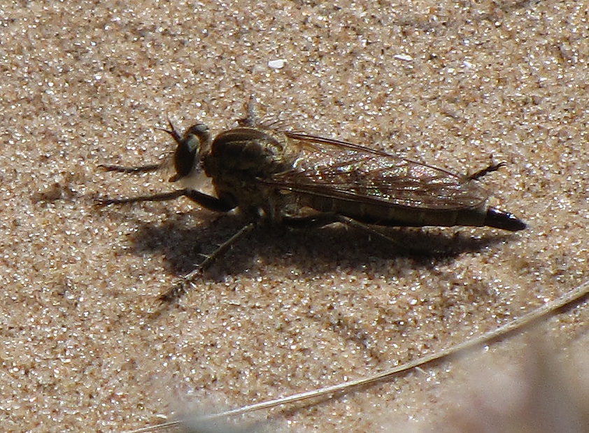 robber-fly-walney