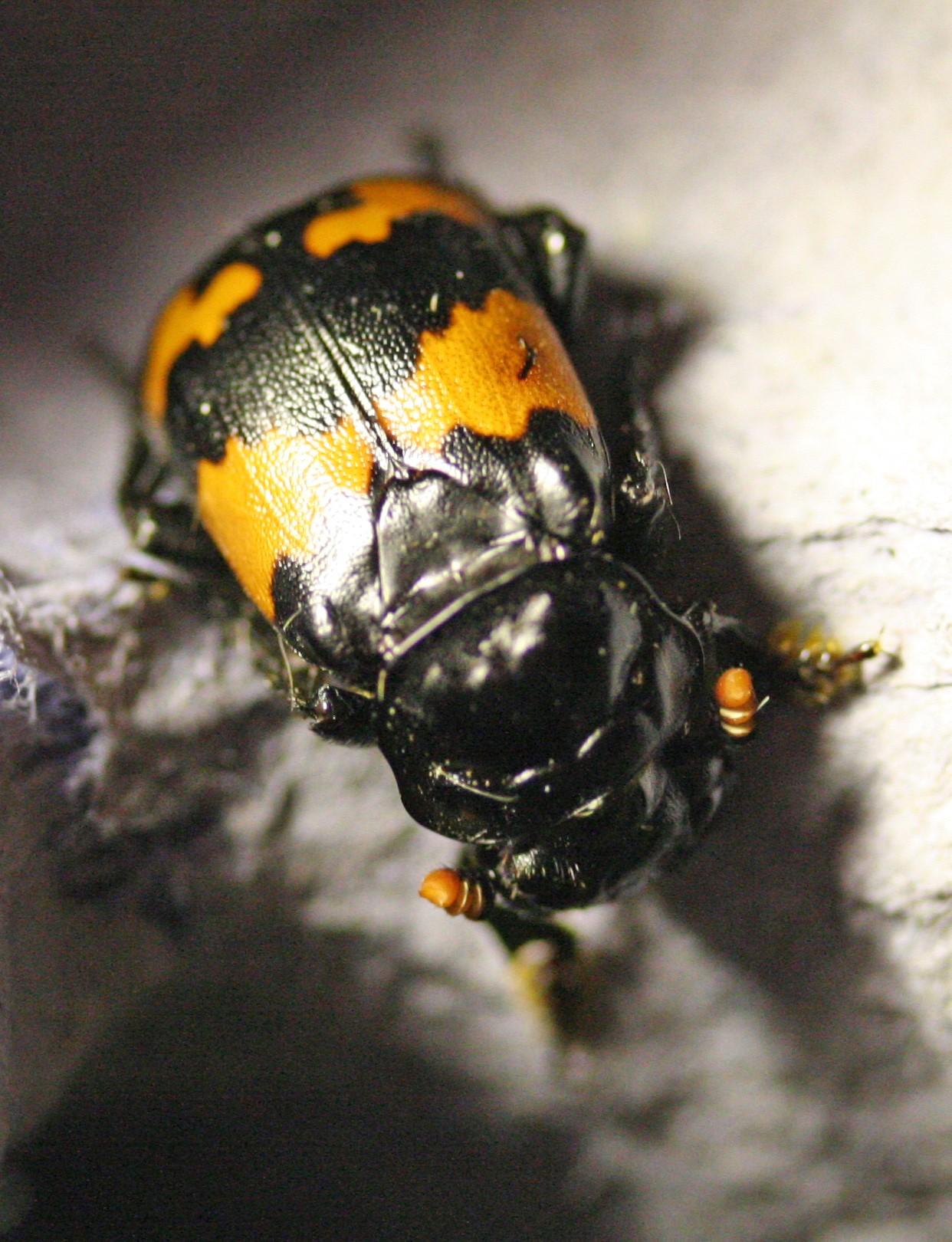 sexton-beetle-35c13f86c9340ffbe76e5b2022c0c3de1e0f8bf4