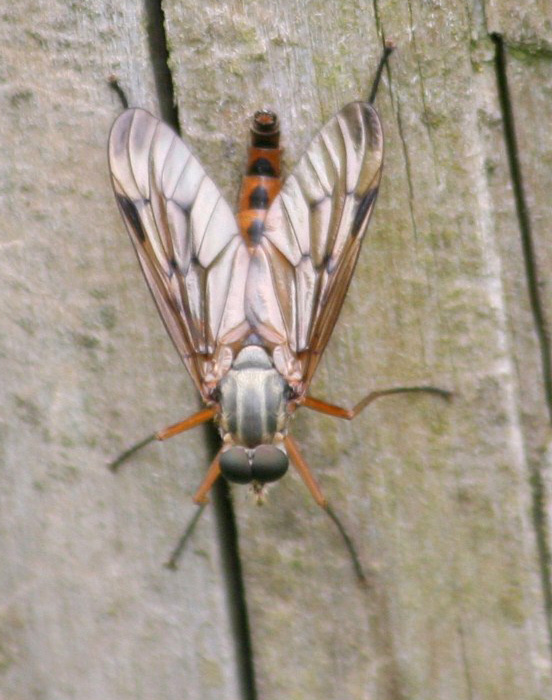 snipe-fly-1-0dd0dba28b53bc09f53c620a806ad7c188e45ae8
