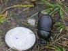 003-female-minotaur-beetle1-1-1ed31b60cf0b0d0da17ba295bafcc880a961fb59