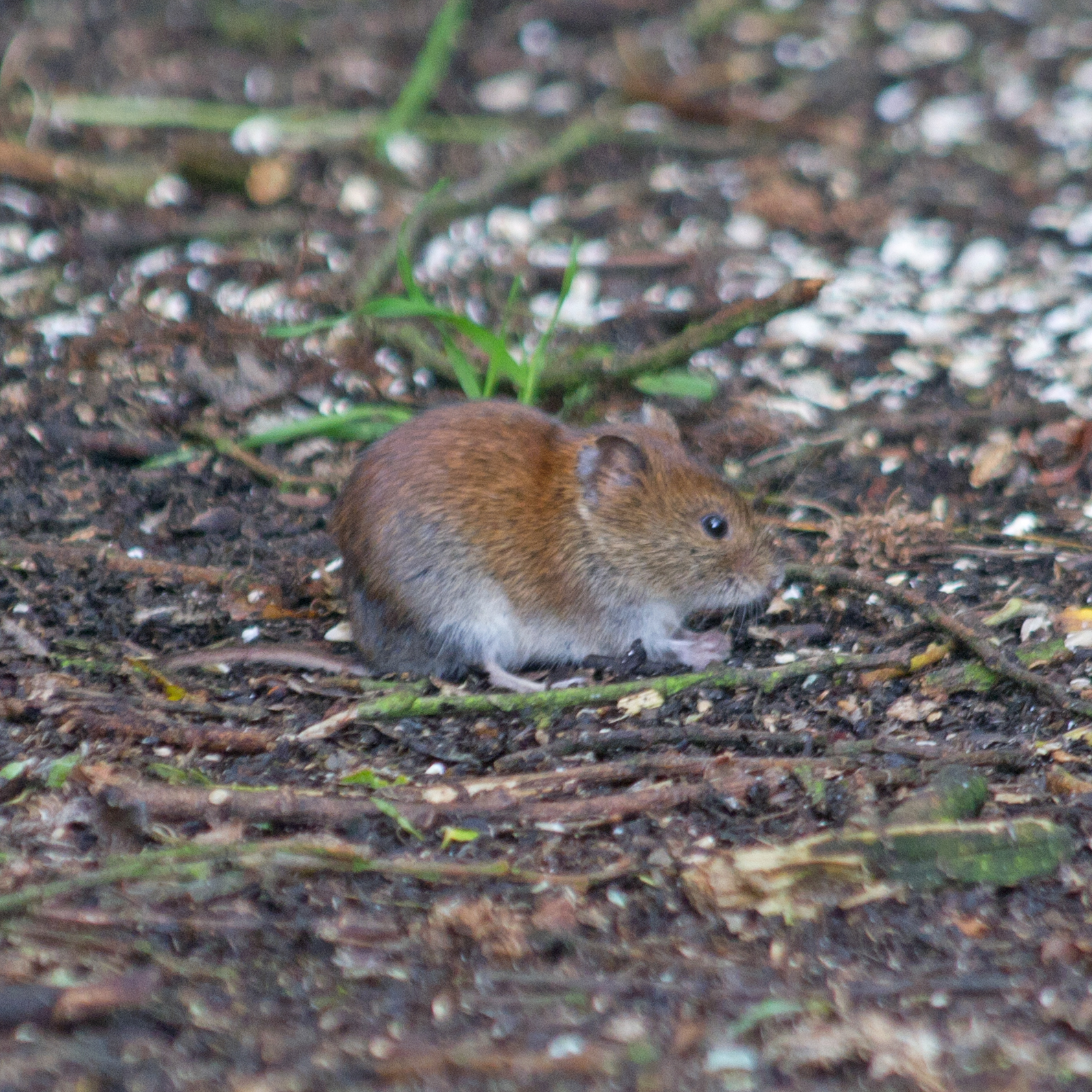 common-field-vole-june-2011