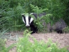 badger-walney-copy