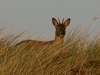 standing-roa-buck-in-grass-nov-2011