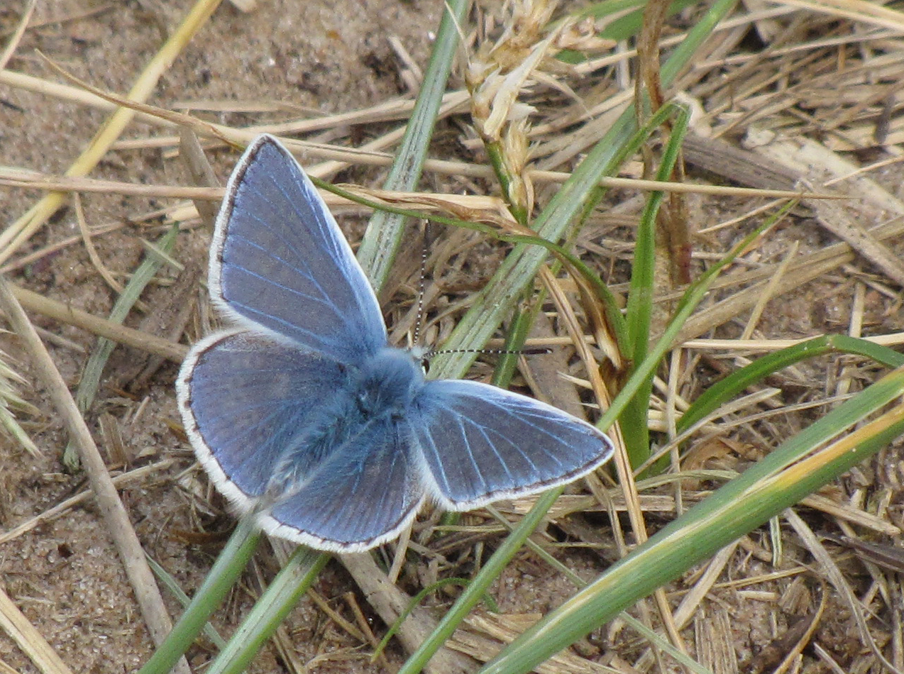 common-blue-walney