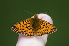 Moths-Butterflies