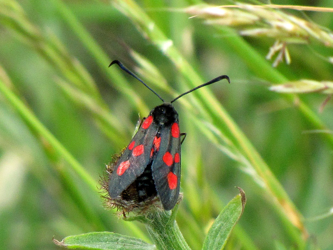 five-spot-burnet-walney