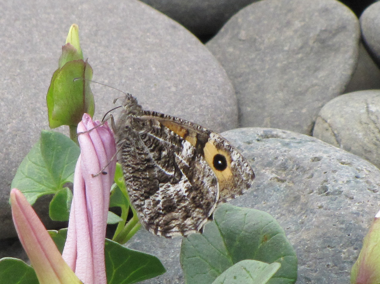 grayling-walney