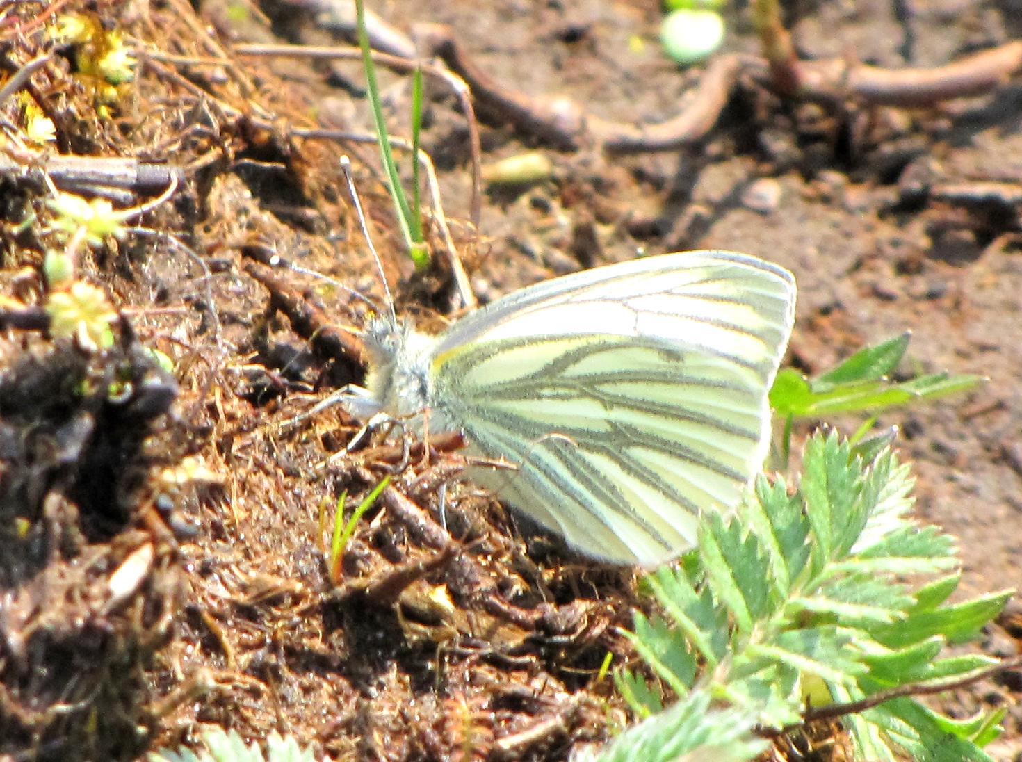 green-veined-white-walney