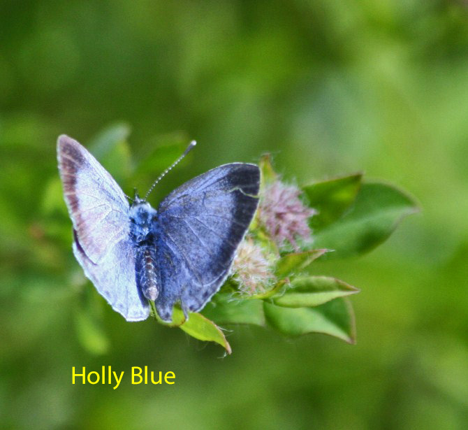 holly-blue-23-july-2009-long-pond-4-1-1600782eab2c0025952683e8e3350887d8eb8ae4