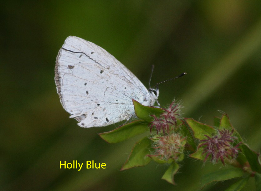 holly-blue-23-july-2009-long-pond-8-1-c08156c6a7c4d23d6016dabf063ae586fc82b7b3
